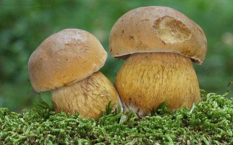 жёлчный гриб горчак