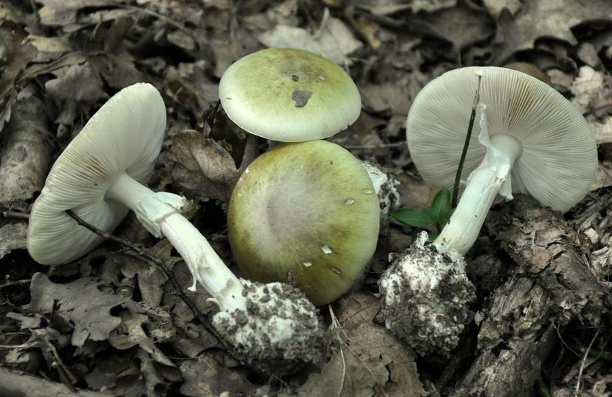 гриб бледная поганка фото и описание