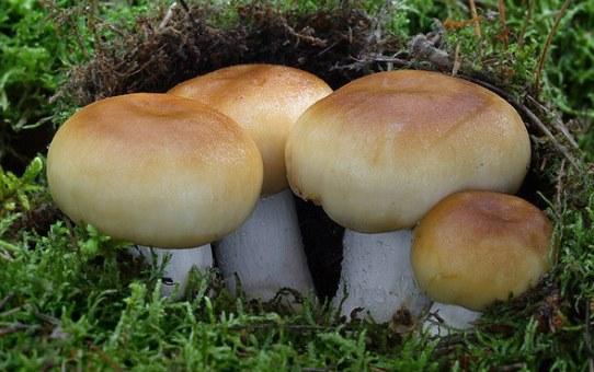 валуй гриб фото