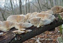 Ленцитес березовый гриб – описание и фото
