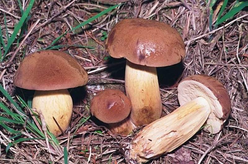 Польский белый гриб