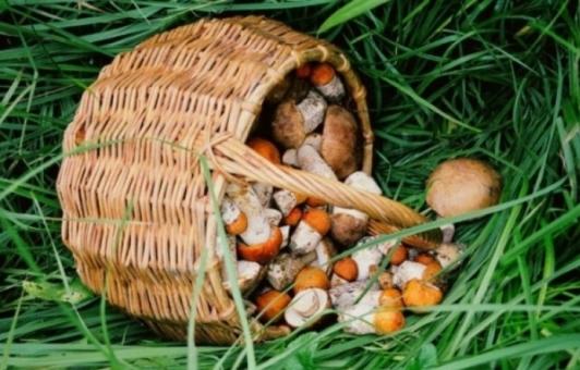 грибы соснового леса