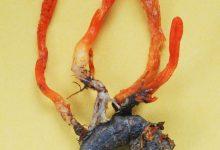 Cordyceps militaris (2)