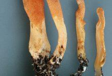 Cordyceps militaris (6)