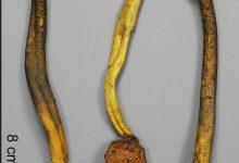 Elaphocordyceps longisegmentis
