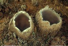 Geopora arenicola (7)