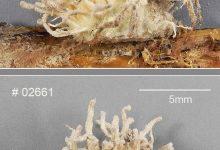 Gibellula leiopus (2)