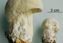 Hypomyces chrysospermus (2)