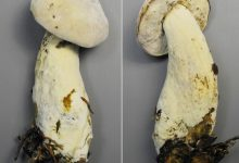 Hypomyces chrysospermus (3)