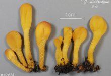 Microglossum rufum (3)