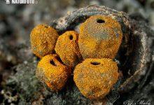 Plectania melastoma (5)
