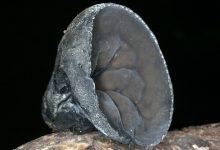 Sarcosoma mexicanum