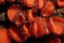 Scutellinia scutellata (1)