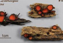 Scutellinia scutellata lato (2)