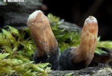 Xylaria longipes (10)