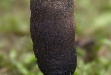 Xylaria longipes (12)