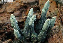 Xylaria longipes (3)