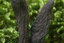 Xylaria longipes (4)