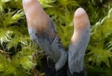 Xylaria longipes (6)