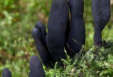 Xylaria polymorpha (6)